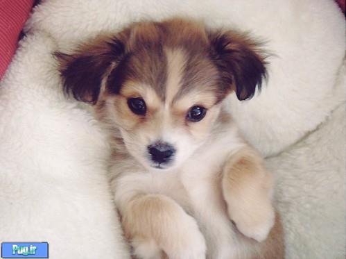 پرشین پت > > گالری 26 فروردین - توله سگ های بسیار بامزه