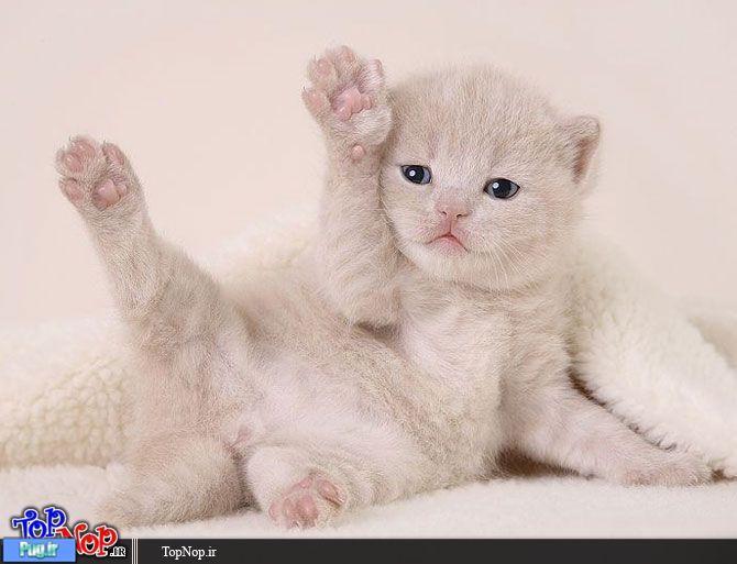 پرشین پت > > یه گربه بسیار ناز نازی
