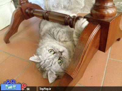 پرشین پت > > یک گربه خپل