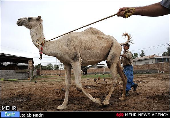 عکس سگ ترکمن