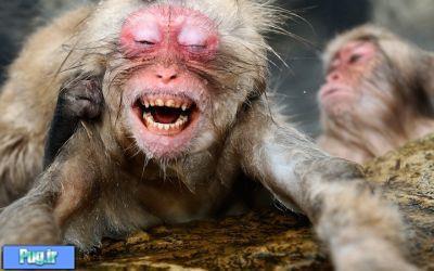 جفتگیری میمون پرشین پت > > میمون های برفی