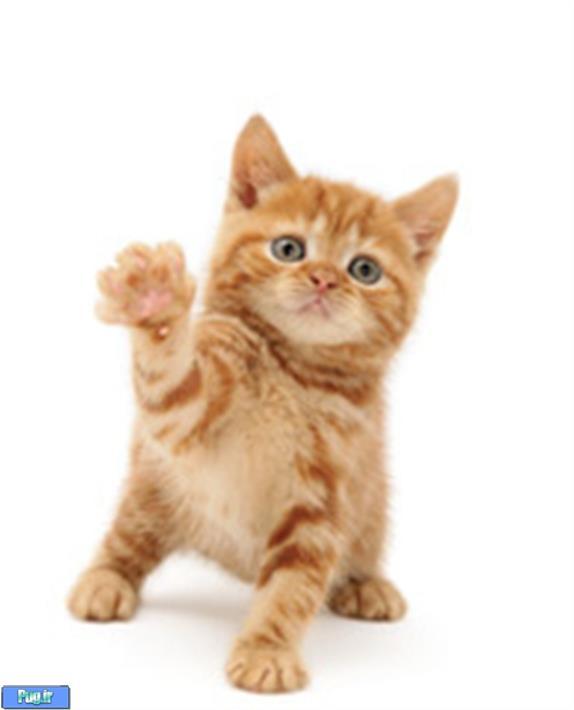 برای خرید گربه باید بدانید