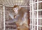 برگ زرینی دیگر در کارنامهء پتا ; موافقت aiims با ارتقای شرائط میمون های آزمایشی