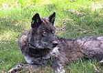 نبرد حساس حامیان حقوق حیوانات با دامداری های صنعتی بر سر نجات گرگ های Oregon