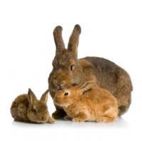 تکثیر خرگوش