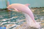 دلفین صورتی رنگ