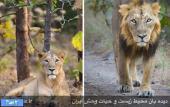 بازگشت شیر ایرانی به خانه اش +عکس