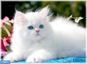 گربه پرشین و نور افتاب