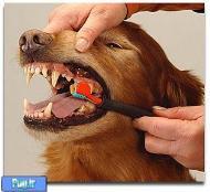 شیوه ی تمیز کردن دندان سگ و گربه