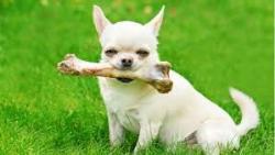 پروستات در سگ ها