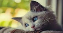 تفاوت بین گوش سالم و گوش آلوده و عفونی گربه