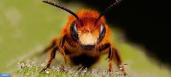 تفاوت رنگ زنبور قرمز با زنبور عسل