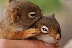 سنجاب های ایران