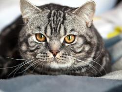 دیابت در گربه ها