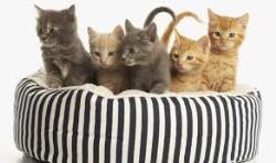 لنفوم در گربه ها