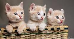 لوسمی گربه چیست