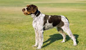 | German Wirehaired Pointer