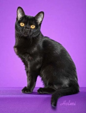 گربه بنبیی (Bombay Cat)